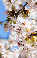 The hybrid cherry, Prunus yedoensis, flowering in an English garden.  Photographed in April.