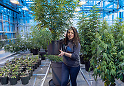 Photo by Mara Lavitt<br /> March 6, 2019<br /> Agricultural Biotechnology Laboratory, University of Connecticut, Storrs<br /> <br /> UConn plant science: junior Jessica DiMatteo of Bethany moves hemp plants in the greenhouse to make room for more seedlings.