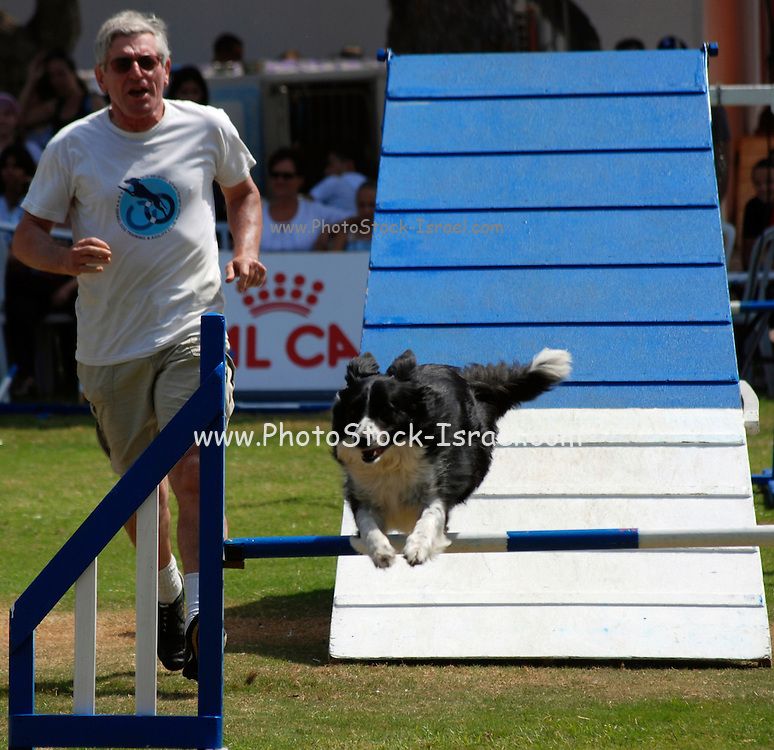 Israel, Tel Aviv, The International Dog Show 2010 Border Collie on an obstacle course