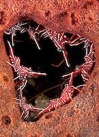 Hingebeak Shrimps line a heart shaped hole in a sponge