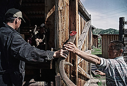 The workers of a private farm carries cut off antler of a deer to the high temperature drying room in the Altai (eastern Siberia) village of Mendur-Sokon, Russia, 24 July 2001. Local population traditionally sell pants (the young, just grown antlers of a deer) to farmacilogical factories, which produce extremely effective biological active medicine Pantacrin with high tonic effect. The antlers are sold by local people for about $150 per kilo, which cost up to $500 on Asian markets..