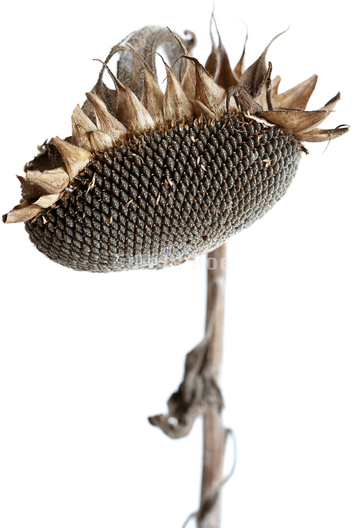 a ripe sunflower head with seeds