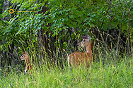 Whitetail doe and fawn at attention in Whitefish, Montana, USA