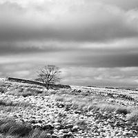 Lone Tree on Haworth Moor Haworth West Yorkshire England