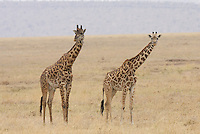 Giraffe in the Central Serengeti