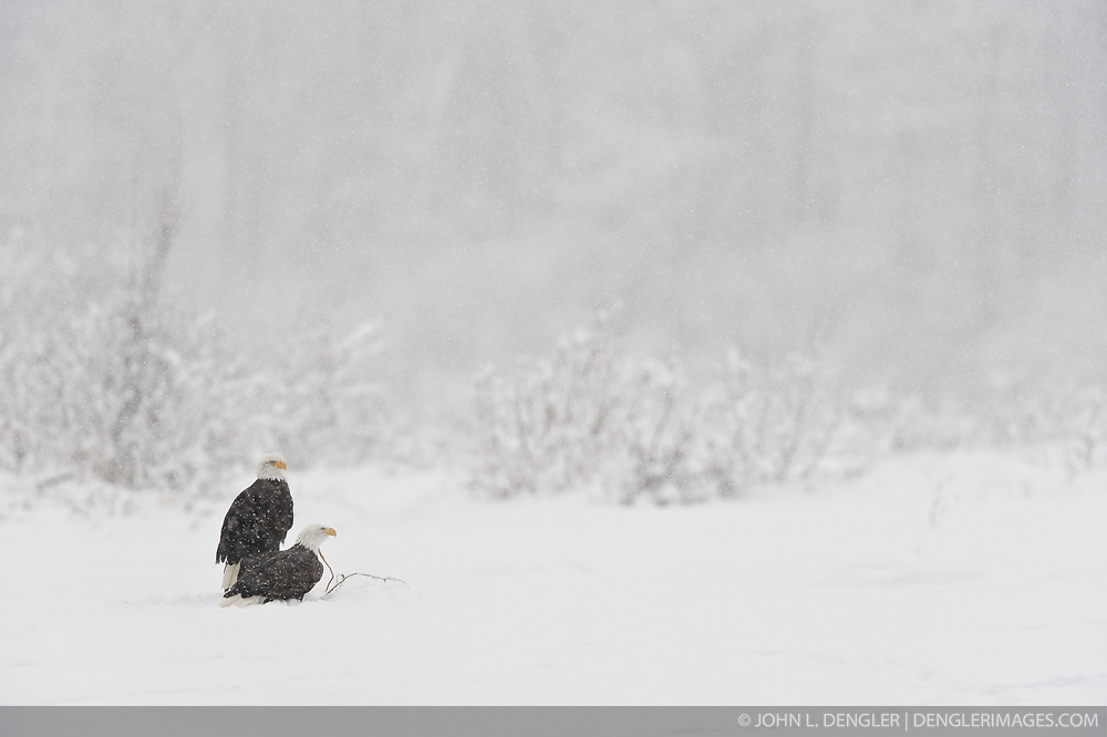 Bald eagles (Haliaeetus leucocephalus) sit on the gravel bar of the Chilkat River during a snowstorm in the Alaska Chilkat Bald Eagle Preserve near Haines, Alaska. During late fall, bald eagles congregate along the Chilkat River to feed on salmon. This gathering of bald eagles in the Alaska Chilkat Bald Eagle Preserve is believed to be one of the largest gatherings of bald eagles in the world.