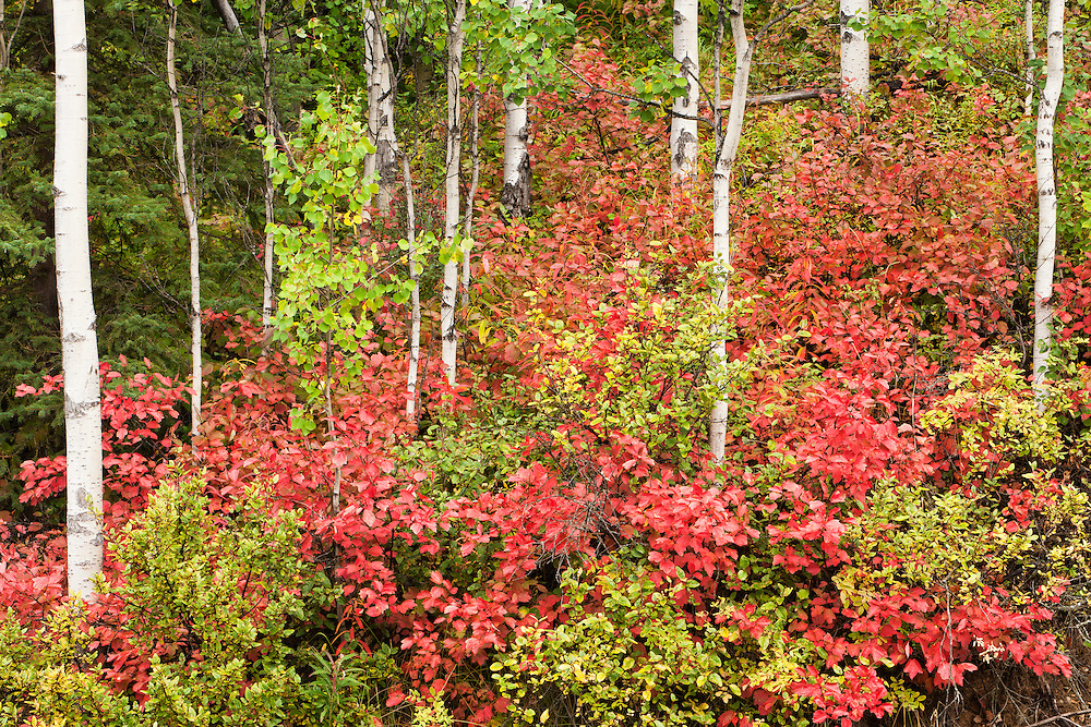 Fall colors of High-bush Cranberry leaves among Aspen trees in Chugach State Park, Eagle River in Southcentral Alaska. Fall. Morning.