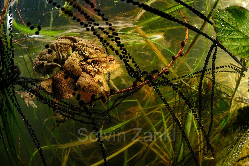 Common toad (Bufo bufo) with in strings of toadspawn   Erkröten-Paar (Bufo bufo) beim Laichen, die schwarzen Punkte sind die Eier in der Laichschnur
