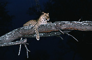 Leopard in Tree<br />