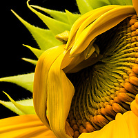The sunflower an annual plant is native to the Americas. The flower petals within the sunflower's cluster are always in a spiral pattern.  Generally, each floret is oriented toward the next by appropximately the golden angle, 137.5 degrees, producing a pattern of interconnecting spirals, where the number of left spirals and the number of right spirals are successive Fibonacci numbers.  This pattern produces the most efficient packing of seeds within the flower head.