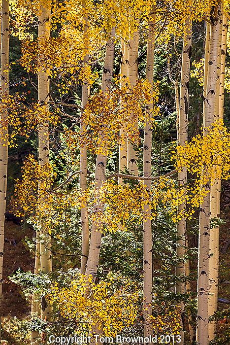Aspen trees, their autumn color and douglas fir tree.