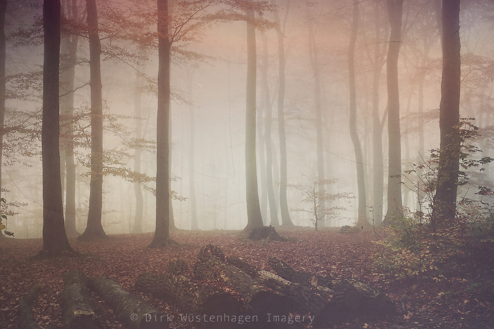 Beech tree forest in fog on a November morning - shot with iPhone, edited in Stackables