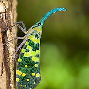 Pyrops viridirostris lantern bug at the Kaeng Krachan Forest Complex, Thailand.