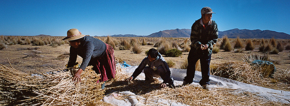 """Workers harvest quinoa on the arid highlands near Challapata, Bolivia. .The nutritional qualities of the seed have generated a new export market for South American farmers. Demand for the grain-like seed are increasing due to its nutritional benefits. Quinoa contains more protein than any other """"grain"""" and includes all eight essential amino acids needed for tissue development. Quinoa has been cultivated in the Andes since 3000BC. Challapata, Bolivia, 12th May 2011. Photo Tim Clayton"""