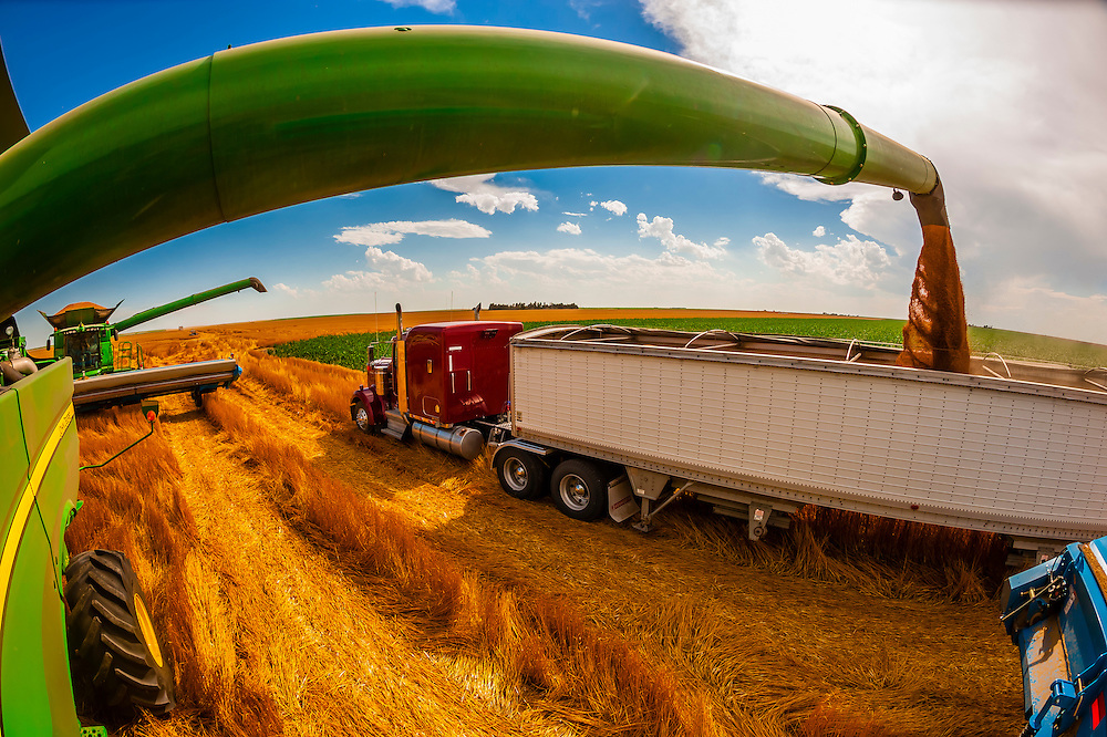 Grain just unloaded from a combine harvester to a grain trailer during the wheat harvest, Schields & Sons, Goodland, Kansas USA.