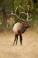 A Bull Elk stays in the pine trees where it feels safe and is out of sight with the rest of his herd.