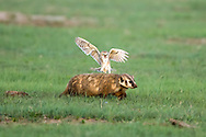 Burrowing owl attacks badger in defense of nest.