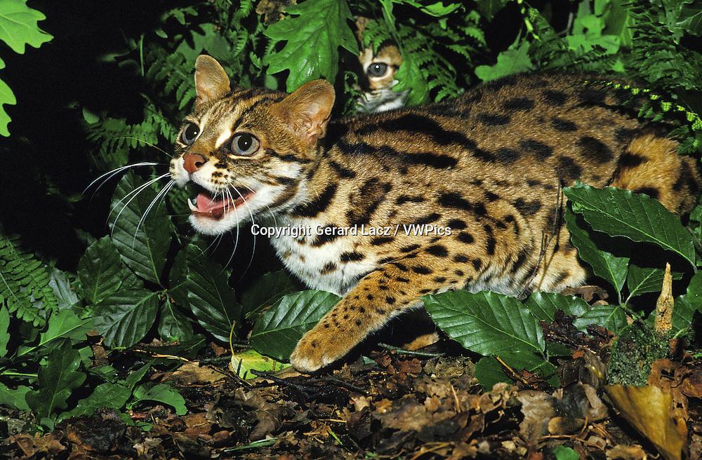 Leopard Cat, prionailurus bengalensis, Female with Cub