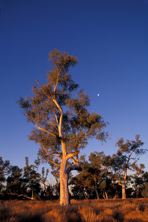 Australia, Northern Territory, Sunset lights eucalyptus trees near Outback town of Alice Springs
