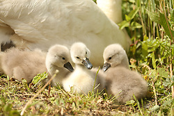 © Licensed to London News Pictures. 13/05/2015. Dorset, UK New arrivals at Abbotsbury Swannery in Dorset today 13th May 2015. . Photo credit : Jason Bryant/LNP