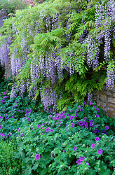 Wisteria floribunda with Geranium x magnificum at Lady Farm. Design: Judy Pearce