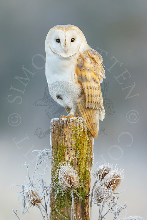 Barn Owl (Tyto Alba) adult perched on post on frosty morning, Norfolk, UK.
