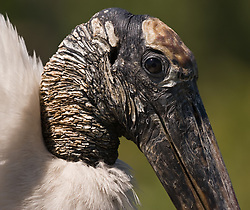 The wood stork (Mycteria americana) an endangered species, sits in the Gatorland alligator breeding marsh and bird sanctuary near Orlando, Florida. The wood stork feeds by touch -- moving it's bill back and forth in the water, snapping up prey with its bill. The wood stork's snapping reflex is the fastest of all vertebrates -- 25 miliseconds. The Gatorland bird sanctuary is the largest and most easily accessible wild wading bird rookery in east central Florida.