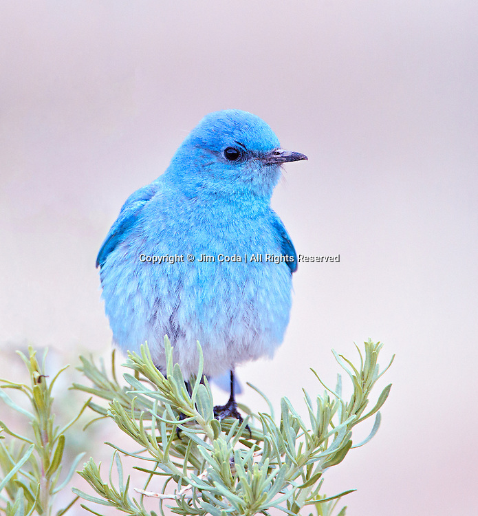 A mountain bluebird sits on a sage plant.