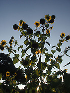 Sun streaking through sunflowers growing in Provence, France in August.