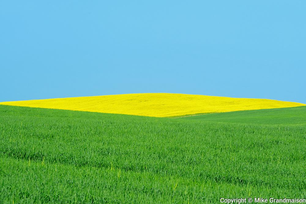 Canola adn wheat crops, St. Leon, Manitoba, Canada