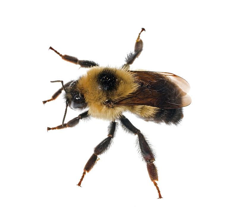 Black Bumble Bee >> Half Black Bumble Bee Bombus Vagans Clay Bolt Nature