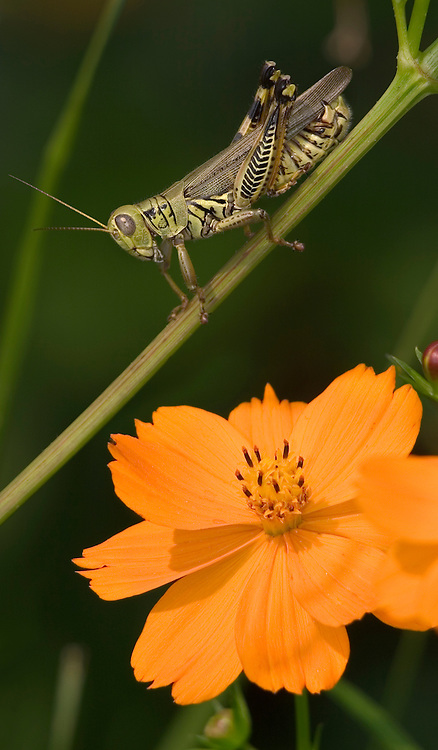 Differential Grasshopper And Orange Flower, Melanoplus differentialis