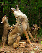 Wildlife - includes  Howling Lesson