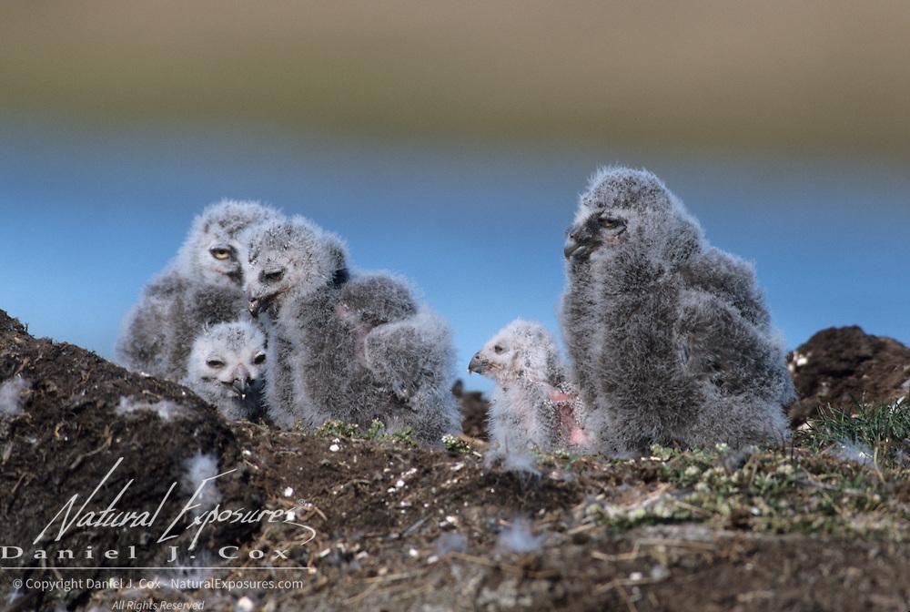 Snowy Owl (Bubo scandiacus) chicks in nest. Barrow, Alaska