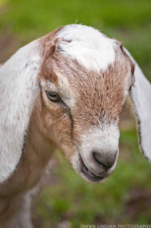 This baby goat was born on small backyard farm in Portland, Ore.