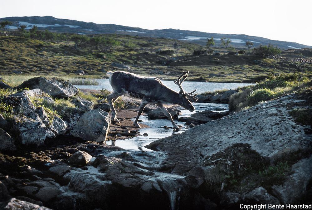 Høkla, Lierne. Reindrift i Nord-Trøndelag. Reindeer herding in Mid-Norway.