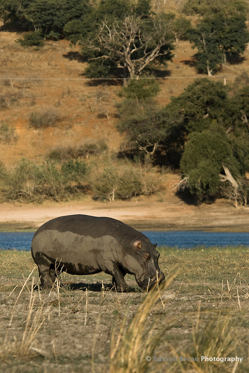 Grazing hippo in Chobe National Park, Botswana