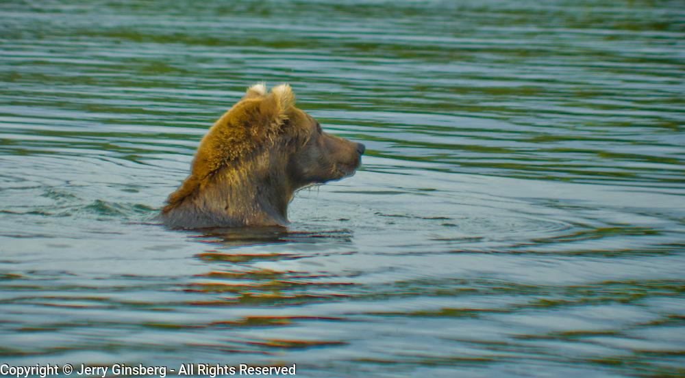 North America, United States, Northwest, Pacific Northwest, West, Alaska, Katmai, Katmai National Park, Brooks River, Grizzly bear, brown bear. Alaskan brown bear (grizzly) swimming down the Brooks River, Katmai National Park, Alaska.