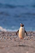 Fiordland Crested Penguin, West Coast, New Zealand