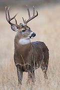 White-tailed Buck Portrait, Missoula, Montana