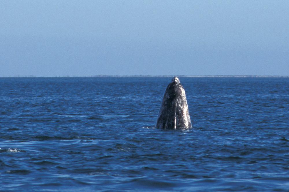 Grey whale,Laguna Ignacio,Baja California,Mexico