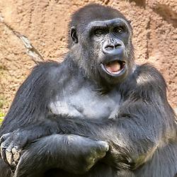 Pregnant Gorilla, LA Zoo