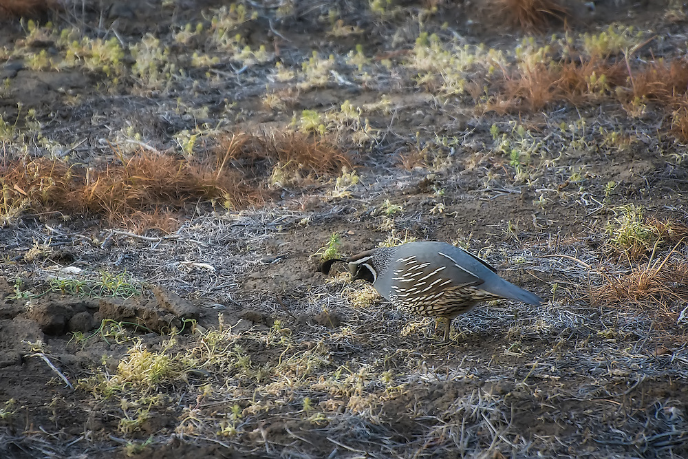 A wild male California quail hunts for seeds and insects in a disturbed field outside of Yakima, WA in Cowiche Canyon. Although it is California's state bird, this native quail is found from Canada to Mexico along the West Coast in dry, arid habitats.