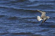 Grey Plover - Pluvialis squatarola