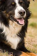Male Australian Shepherd dog, tri color <br /> PROPERTY RELEASED