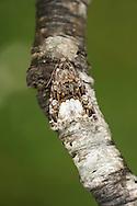 Marbled White Spot - Protodeltote pygarga