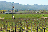 2014 March 20:  Young vines waking up in Oakville. Spring in the Napa Valley wine region.  Stock Photos