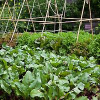 Beets (Beta vulgalis) growing in a kitchen garden.