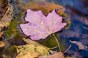 Maple leaf floating in a shallow pool in the New Haven River in Vermont's Breadloaf Wilderness Area.