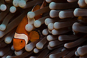 False Clownfish (Amphiprion ocellaris) inside a sea anemone in Komodo National Park, Indonesia.